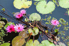 A few pink lotuses in the dark water and the green leaves. Stock Image