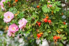 Few pink roses and many rose hips on a large branch. A few pink roses and many rose hips on a large branch, late summer and early autumn, the last flowering royalty free stock photography