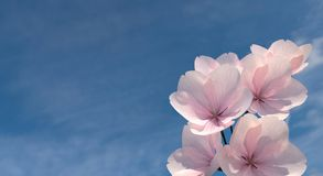 Few pink sakura flowers on sky background. Royalty Free Stock Image