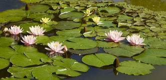 Few pink water lilies on water Stock Photo
