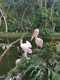 Pelicans. A few pink and white pelicans standing at the edge of the pond stock images
