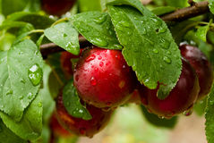 Few plums on the branch in the garden stock photography