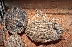 Few quails Royalty Free Stock Photography