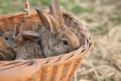 Few rabbits in basket. On nature background Stock Photo