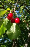 A few red cherries hanging on branch of tree Royalty Free Stock Photo