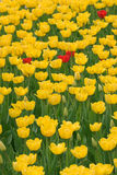 Few red tulip in field of yellow Stock Photography