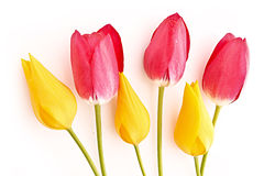 Few red and yellow tulips isolated Stock Photography