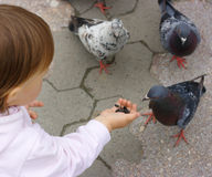 Few rock pigeons are being feeded from palm Royalty Free Stock Photo