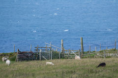 Few sheep graze near the fence on the hill Royalty Free Stock Image