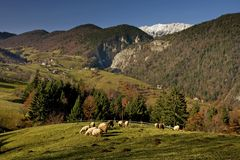 A few sheep on a green meadow. And snowy Piatra Craiului mountain in background, Romania Stock Photos
