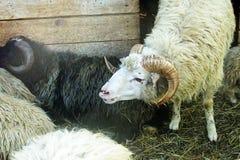 A few sheep Stock Photo