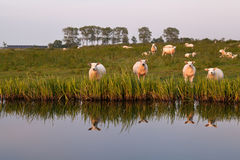 Few sheep reflected in river Stock Photography