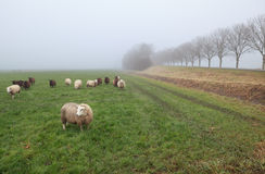 Few sheep in winter fog on pasture Royalty Free Stock Photography