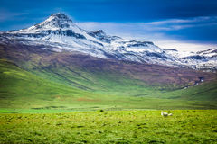 Few sheeps in the mountains, Iceland Royalty Free Stock Images