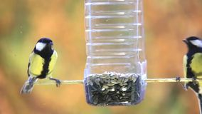 A few small birds bluebirds Parus major fly up to a plastic bottle and eat the seeds