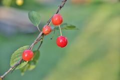 Few small cherries hang on thin tree Stock Images
