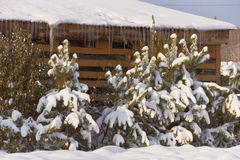 A few snow-covered fir trees planted along the edge of the garden plot in the village.  stock photos