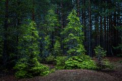 Firs in a dense summer forest. A few spruce trees with young shoots, illuminated by the sun against a thick dark forest Royalty Free Stock Image