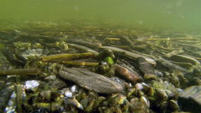 Few sticks and stones found underwater. In the wide lake floor you would see a number of wooden sticks and some different sizes of mussels stone carp stock video