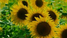 Few Sunflowers stock video