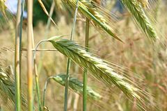 Ripening ears of wheat royalty free stock image