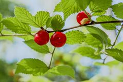 Few ted wild berries growing on the branch in the forest Stock Photo