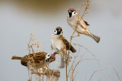 A few tree sparrows feed on thin stems of grass. A few tree sparrows feed together on thin stems of grass Stock Images