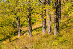 Few trees on grassy hillside at autumn sunrise. Natural background of yellow and green foliage Stock Images