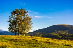 Few trees on the grassy hillside at sunset. In golden light. beautiful landscape of Carpathian mountains. almost clear blue sky royalty free stock photography