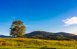 Few trees on the grassy hillside at sunset. In golden light. beautiful landscape of Carpathian mountains. almost clear blue sky royalty free stock images
