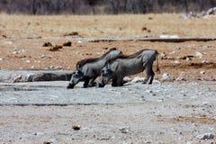 Few Warthog, Phacochoerus aethiopicus, at waterhole Royalty Free Stock Photography