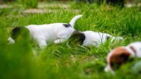 A few week old puppies run around the garden. A few week-old puppies run around garden royalty free stock photos