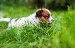 A few week old puppies run around the garden. A few week-old puppies run around garden stock photography