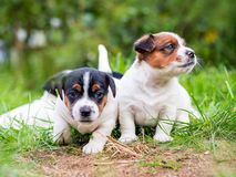 A few week old puppies run around the garden. A few week-old puppies run around garden royalty free stock photo