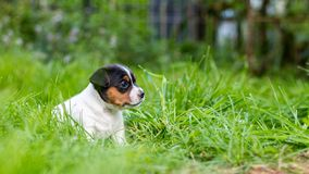 A few week old puppies run around the garden. A few week-old puppies run around garden royalty free stock images