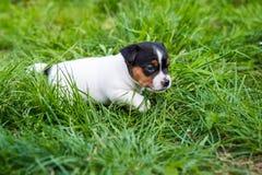 A few week old puppies run around the garden. A few week-old puppies run around garden stock image