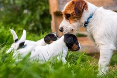 A few week old puppies run around the garden. A few week-old puppies run around garden royalty free stock image