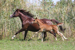 Few weeks old arabian foal with her mare galloping on pasture Royalty Free Stock Image