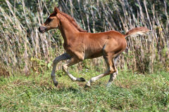 Few weeks old chestnut arabian foal on summer meadow Stock Image
