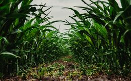 Field of young corn. A few weeks old corn on a vast field Royalty Free Stock Images