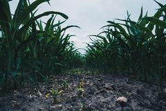 Field of young corn. A few weeks old corn on a vast field stock images