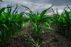 Field of young corn. A few weeks old corn on a vast field Stock Photography