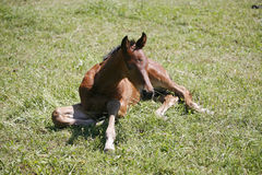 Few weeks old foal rests on the green field Royalty Free Stock Photos