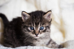 Few weeks old tabby kitten with fluffy fur Stock Images