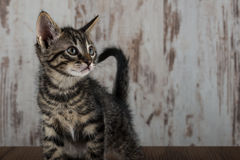 Few weeks old tabby kitten tomcat on white wooden background Stock Photography