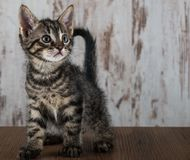 Few weeks old tabby kitten on white wooden background Royalty Free Stock Photography