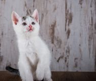 Few weeks old white kitten on white wooden background Stock Photography