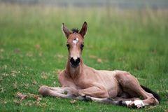 Young Buckskin foal resting royalty free stock photos