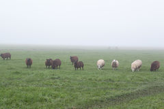 Few white and brown sheep on misty pasture Stock Images