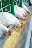 A few white chickens in a row are fed stock photography
